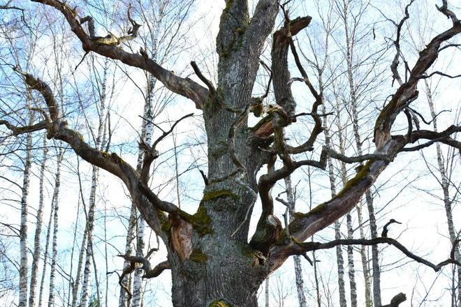 The Oak of Varius