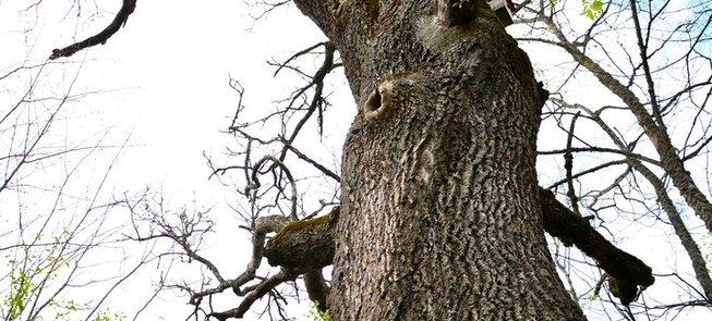 Buivydai Tree