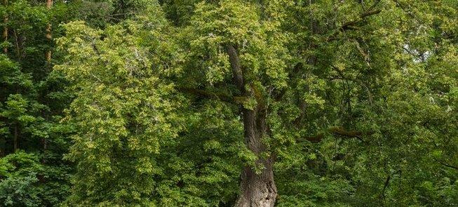 Pavariai Tree