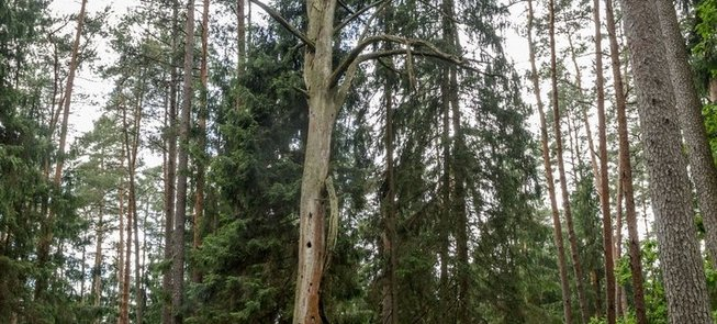 The Hollow Pine Tree